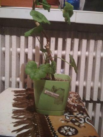 Продам цветок з горшком 50 грн