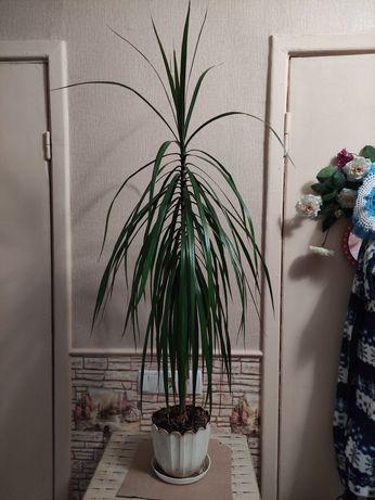 Драцена шикарная. Комнатные растения. Цветы.