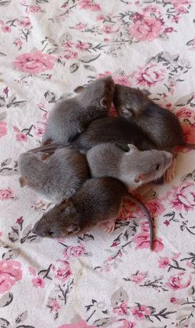 Sprzedam Szczurki niebieskie i brązowe