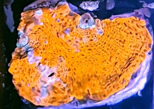 Chalice Coral RARYTAS akwarium morskie akwarystyka morska