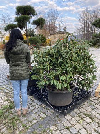 Rododendron na 1,30 metra