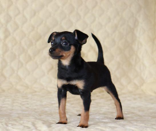 Пражский Крисарик щенки.