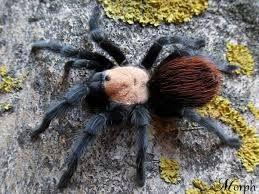 Brachypelma albiceps павук птахоїд для новачків паук птицеед