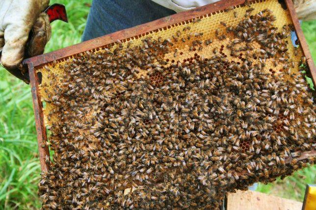 Долго не думай. !Закажи. Пчелиные Матки. Бакфаст (Buckfast)