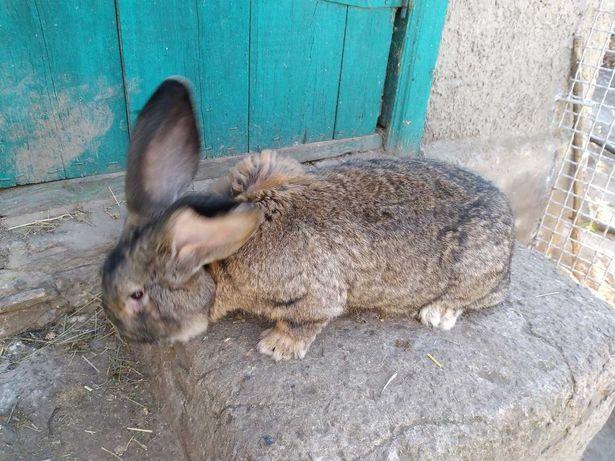 Кролики фландр, калифорния, НЗБ, нутрии и шипуны