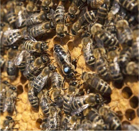 Сильная. Вучковская. Карпатська порода Бджоломатки