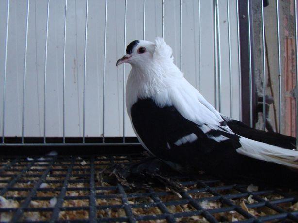 gołębie ozdobne czajka saksońska czajki saksońskie