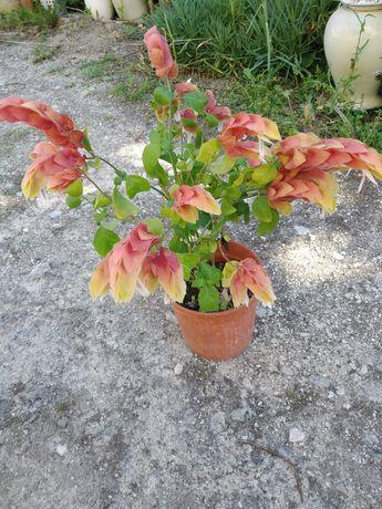 Planta de exterior e Romanzeira de Jardim - púnica