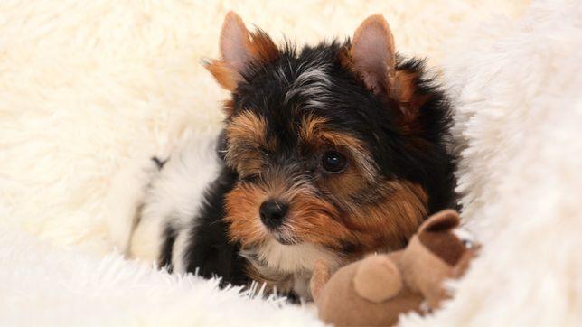 Красивые щенки бивер йорка