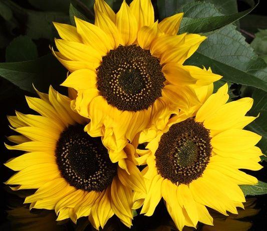 nasiona Słonecznik Ozdobny na kwiat cięty TAIYO 1 kg