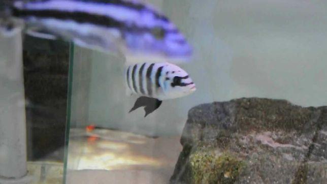 Pyszczak - metraclima zebra chilumba maison reef-3,5cm. wysyłam