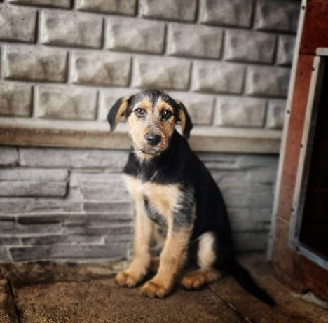 5 miesięcy, terier niemiecki mix, docelowo 15kg, Łączki do adopcji