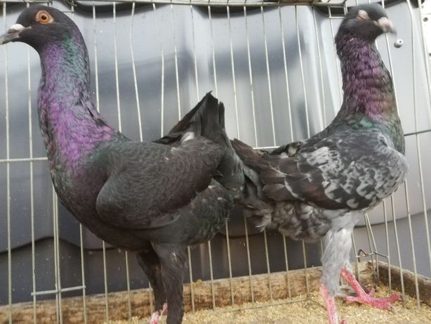 Gołębie kurak kuraki maltańskie
