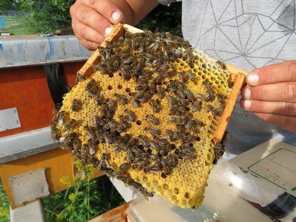 (Бджоломатка – Карника) Скленар (Карника) Плідні