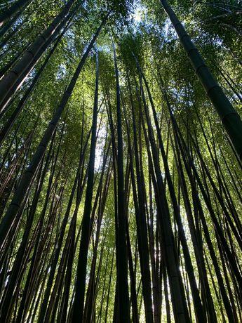 Canas de Bambu ou Raízes em Vaso - Todos os tamanhos ou alturas