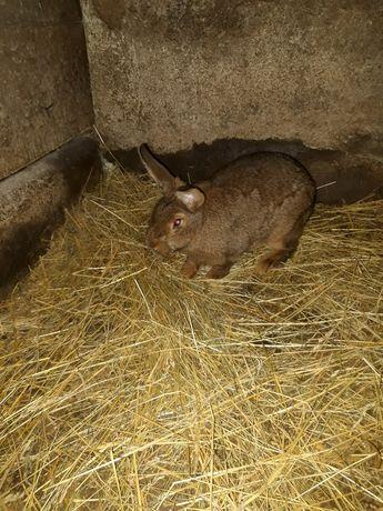 Młode króliki mieszańce