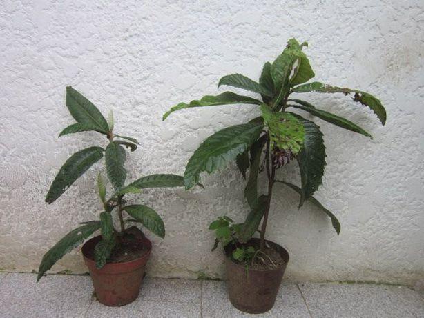 arvores de fruto nespereira magnoreiro loureiro maracujá anona phisali