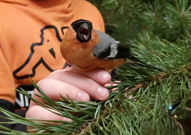 Продам зерноядную печую птицу