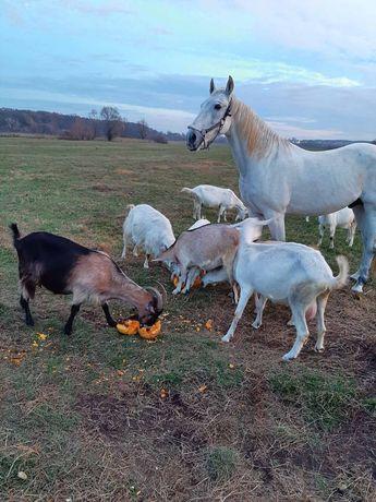 Продаются козы разных возрастов