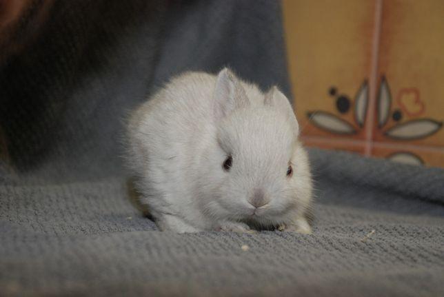Торчевухі декоративні кролики англійської породи