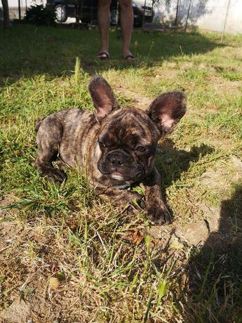 Bulldog francês tigrado