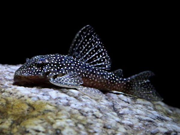glonojad Hypancistrus sp. L 136 Grudziądz Grudziądz - image 1