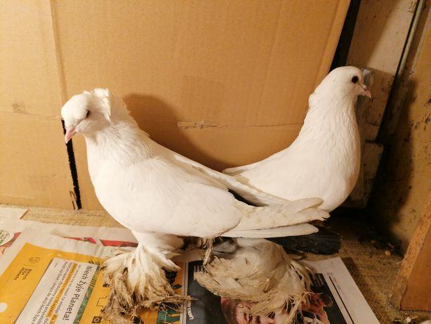 Gołębie ozdobne bije