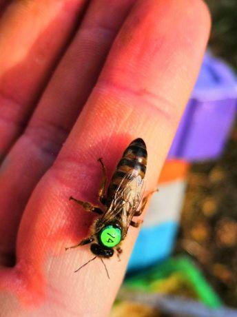 Пчелиная матка породы Карпатка Известная Продуктивная Матка В наличии