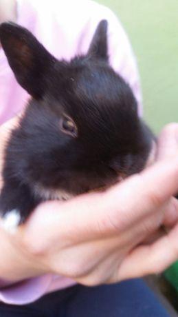 Sprzedam mini króliczki