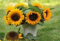nasiona Słonecznik Ozdobny Na Kwiat Cięty 'Taiyo' 100 gram