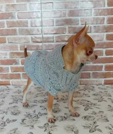 Chihuahua 6m 1 kg