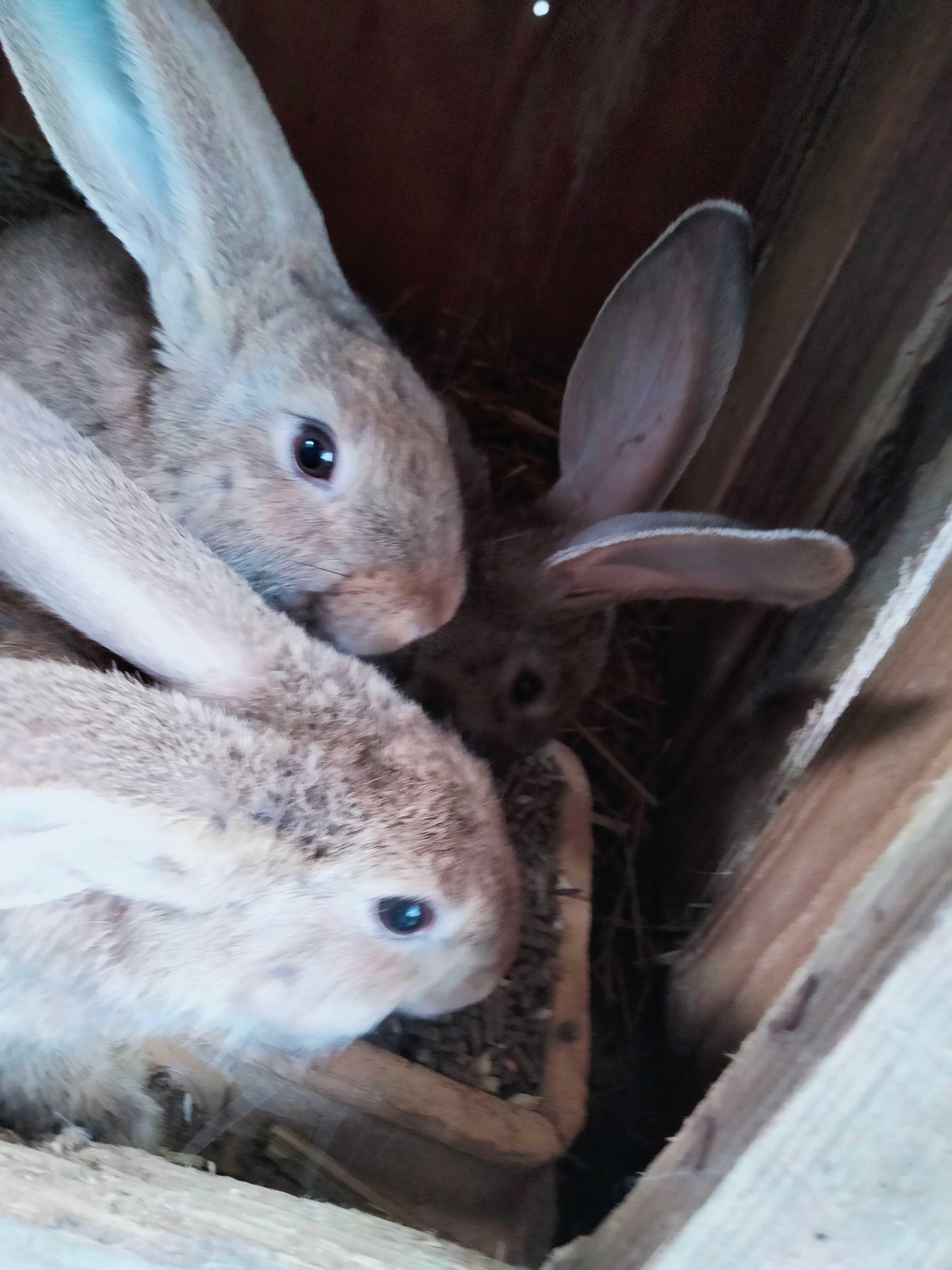 Młode króliki 3 miesięczne