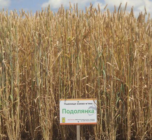 Продам семена пшеницы сорт Подолянка