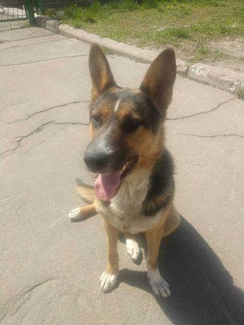 Найдена пропала собака овчарка, находится на Троещине Деснянский р-н