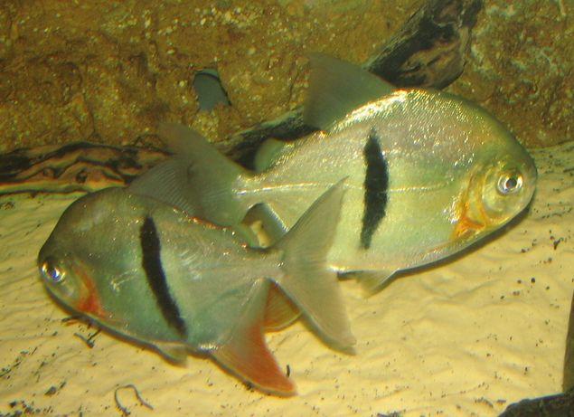 Pirania czarnopasa Myleus schomburki 15,0 cm od 3 sztuk po 80 zł