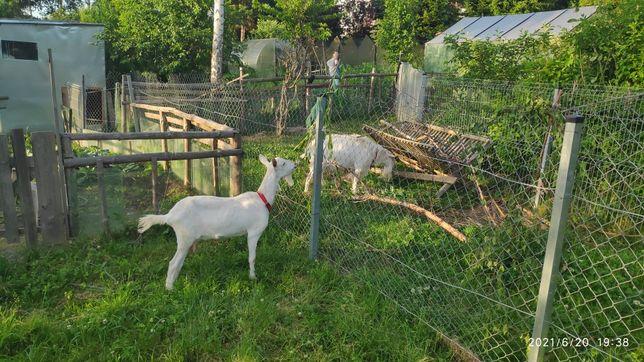 Kozy sprzedam kozła i kozę