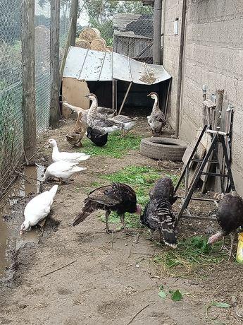 Gęsi kaczki i indyki
