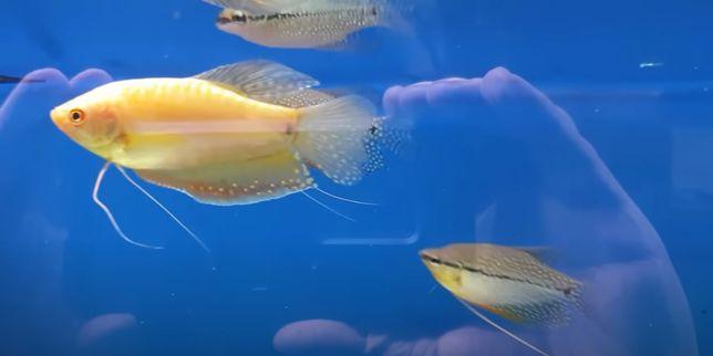 Gourami Pérola, Azul e Dourado 6-8cm