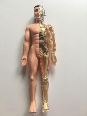 Modelo Anatomico Corpo Humano