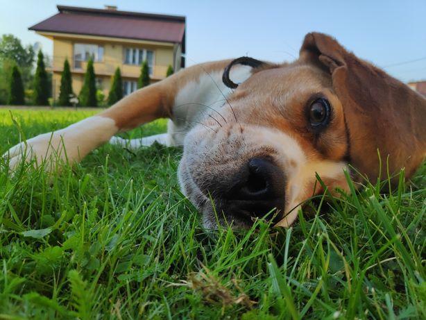 Beagle reproduktor rasowy oferta krycia
