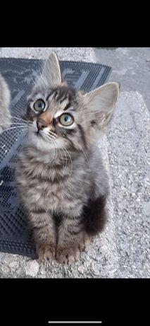 Отдам котёнка лесного окраса ,девочка , 3 месяца