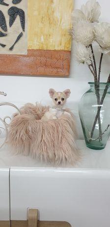 Chihuahua  macho creme e branco de pêlo comprido