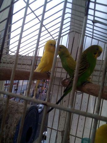 Periquito australiano amarelo-verde