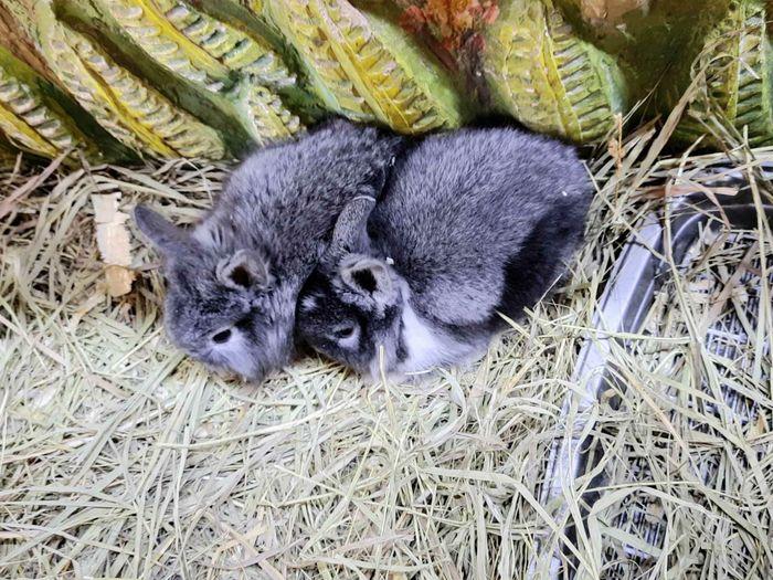 Декративные кролики Днепр - изображение 1