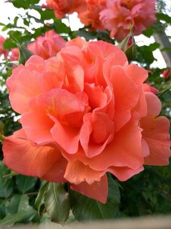 Саженцы Коллекционных сортов Роз от Производителя--более 350 сортов