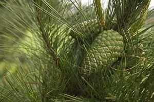 Сосновые шишки лесные