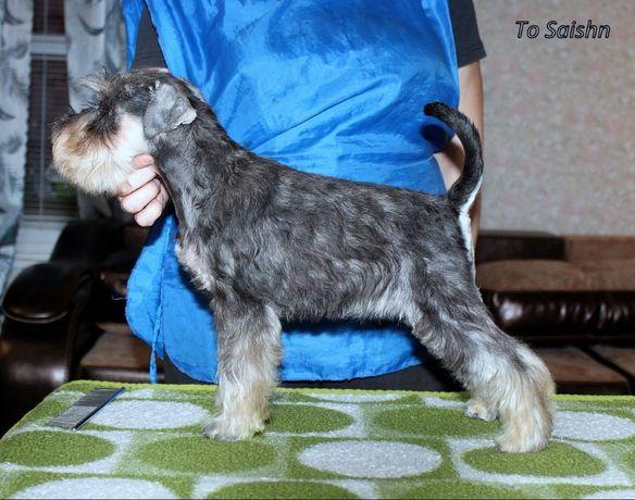 Цвергшнауцера щенки,детки из приличной семьи, от титулованных родителе