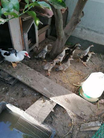 Patos mudos para cedência