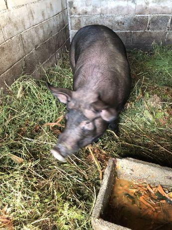 Animais vendo porco