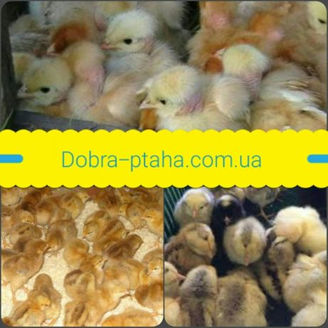 Цыплята Мастер Грей,Ред Бро,Испанка Голошейка